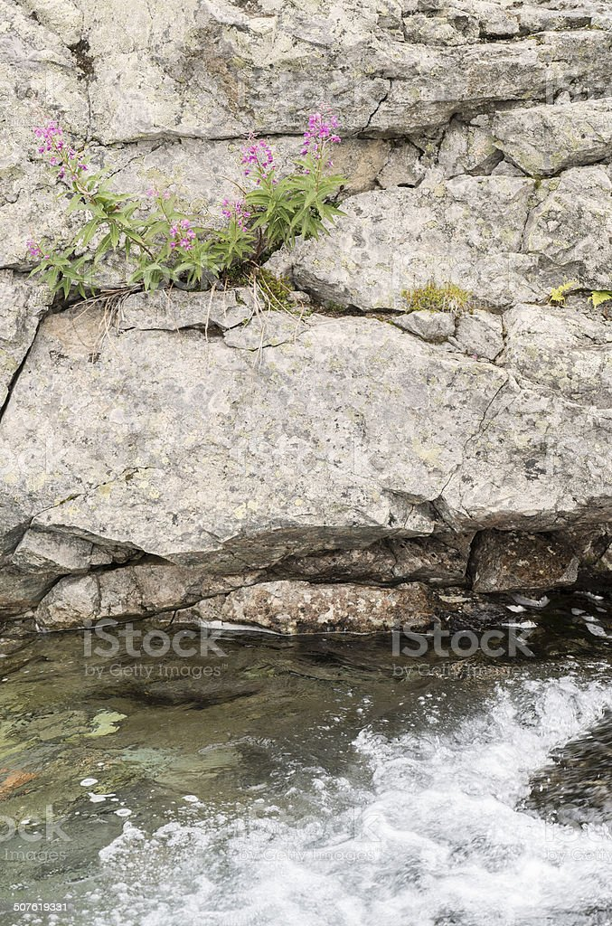 Fireweeds are klinging to rocks above small stream in Jotunheimen royalty-free stock photo
