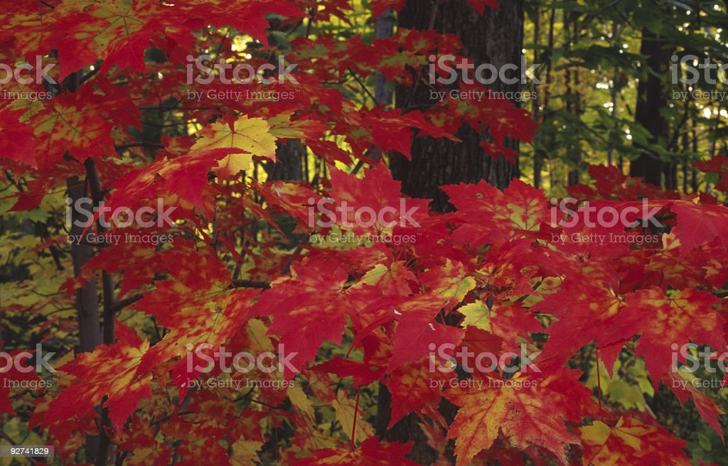 Firey Fall royalty-free stock photo