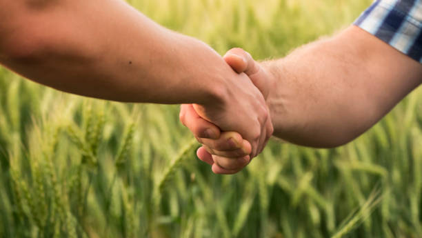 A firm handshake between two male farmers on the background of a wheat field Two farmers shaking hands against the background of a wheat field. between stock pictures, royalty-free photos & images
