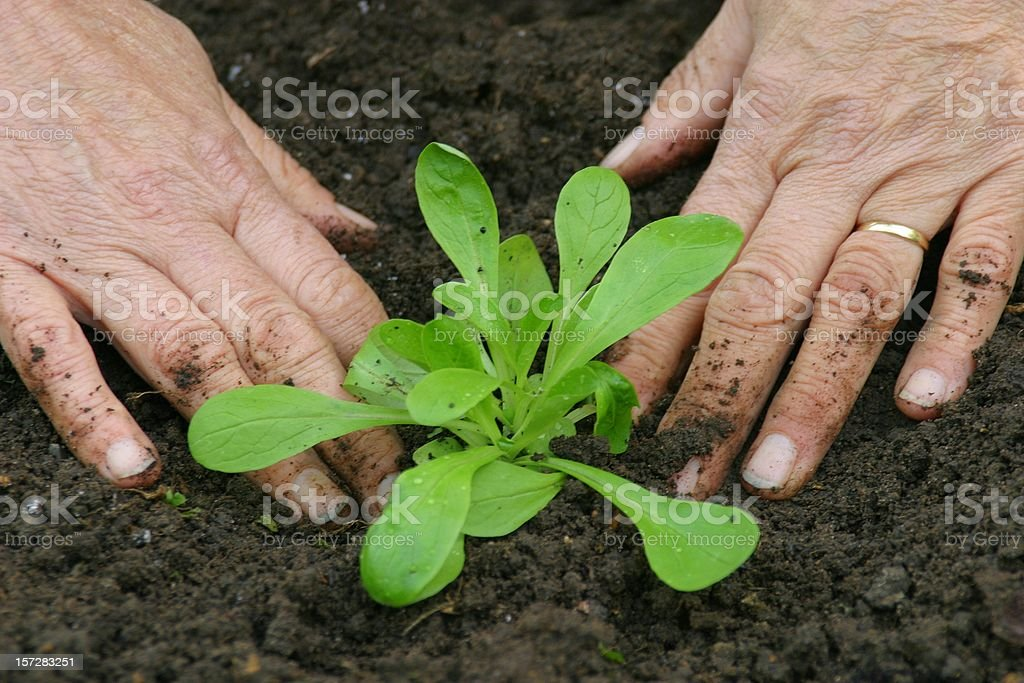 Firming a young garden plant into the soil stock photo
