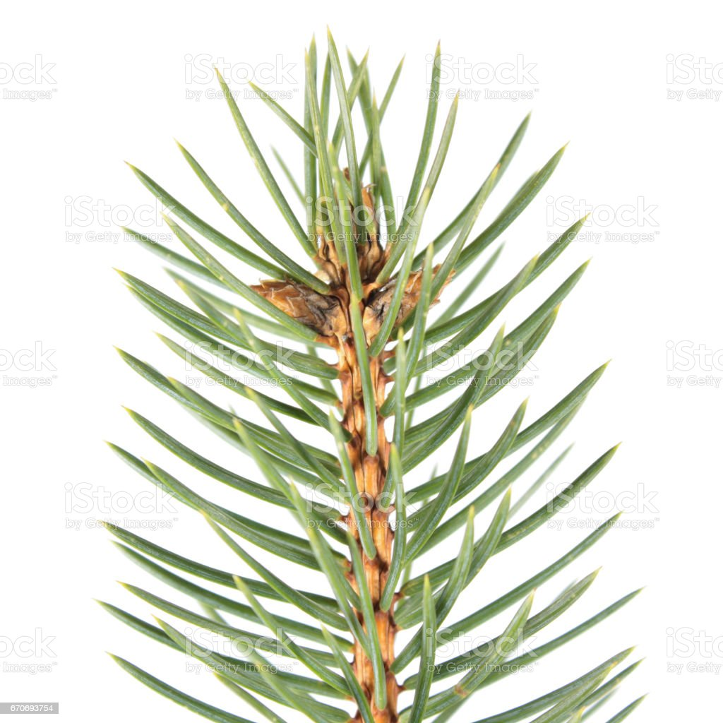 Fir-needle isolated on white background stock photo