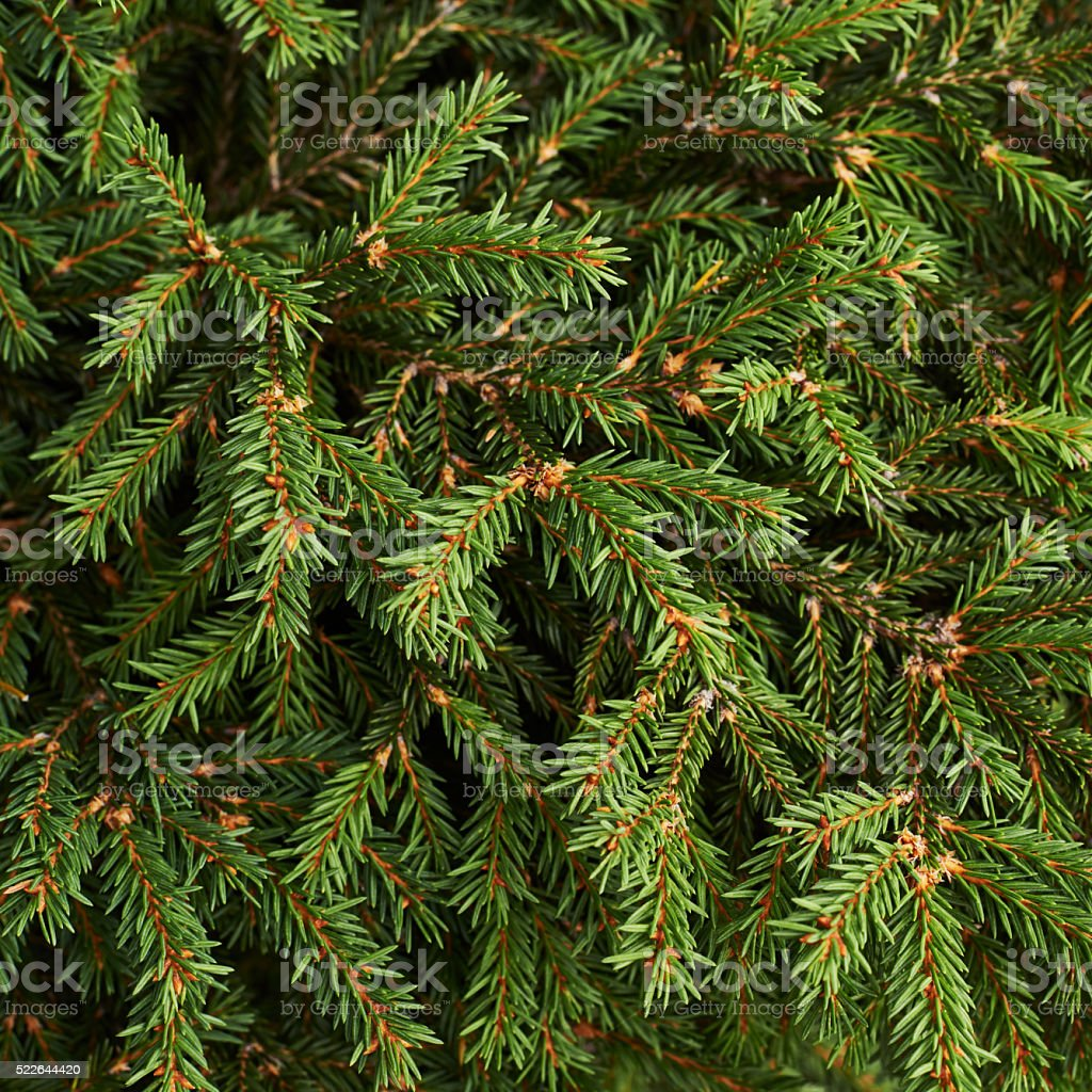 Fir-needle tree branches stock photo