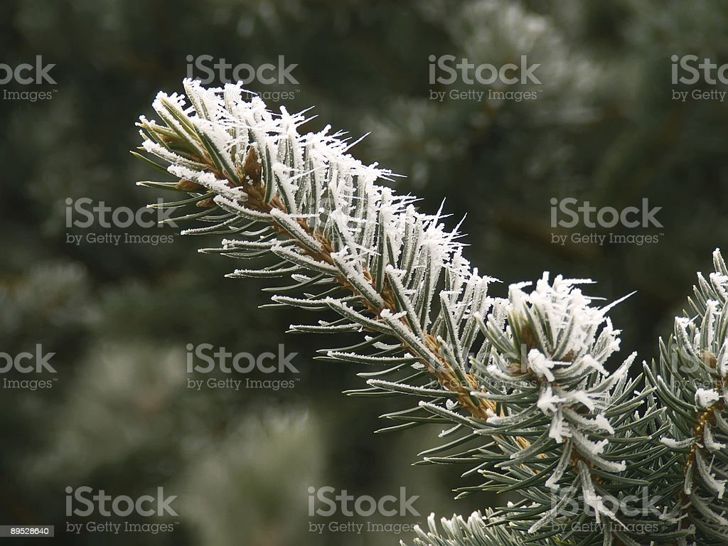 Firs branches with hoarfrost 免版稅 stock photo