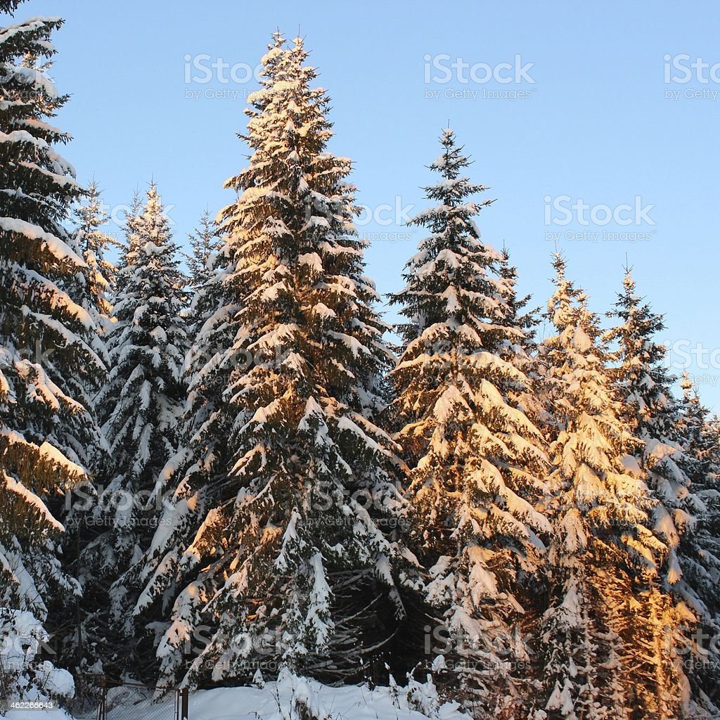Sapins stock photo
