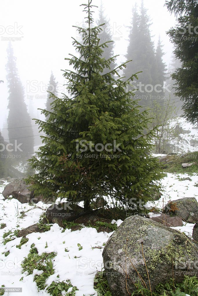 firs royalty-free stock photo