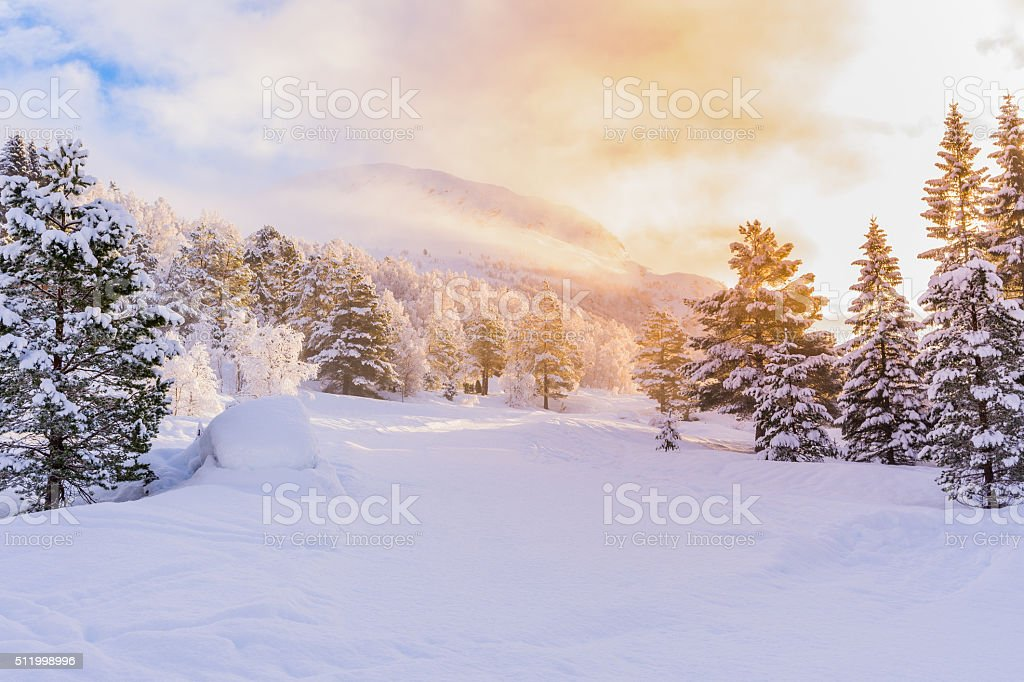 firs with sunrise, winter stock photo