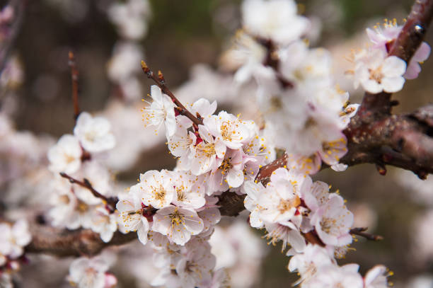 first apricot flowers - blossom stock pictures, royalty-free photos & images