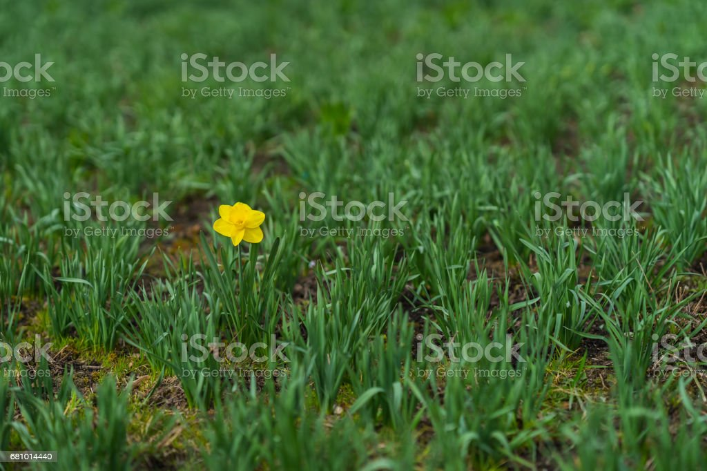 First Bright single daffodil, Narcissus flower among lots of green leaves. oncept of dissimilarity, bright personality. Modern wallpaper, copy space, selective focus royalty-free stock photo