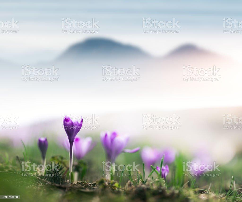 Premières fleurs de Crocus au printemps - Photo