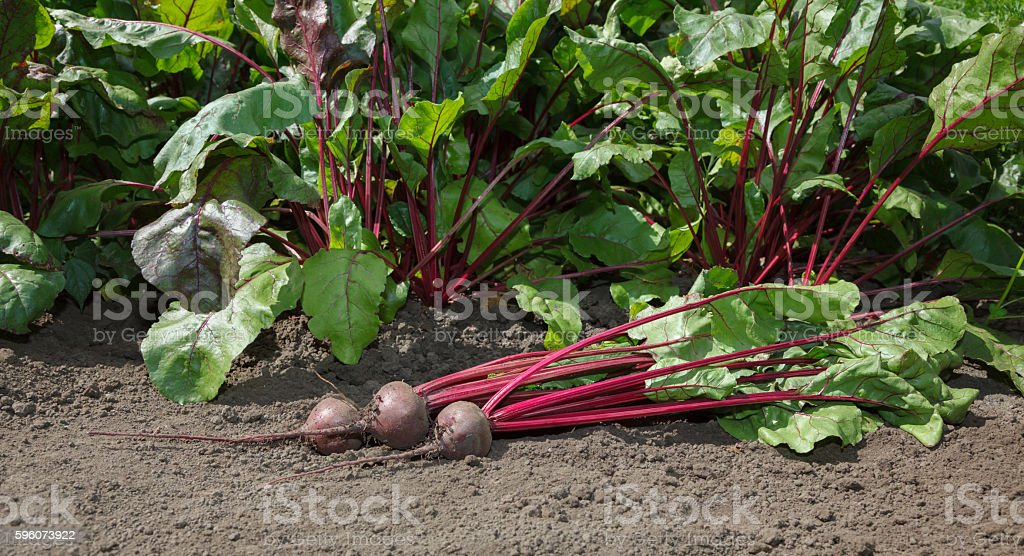 First crop of beetroots stock photo