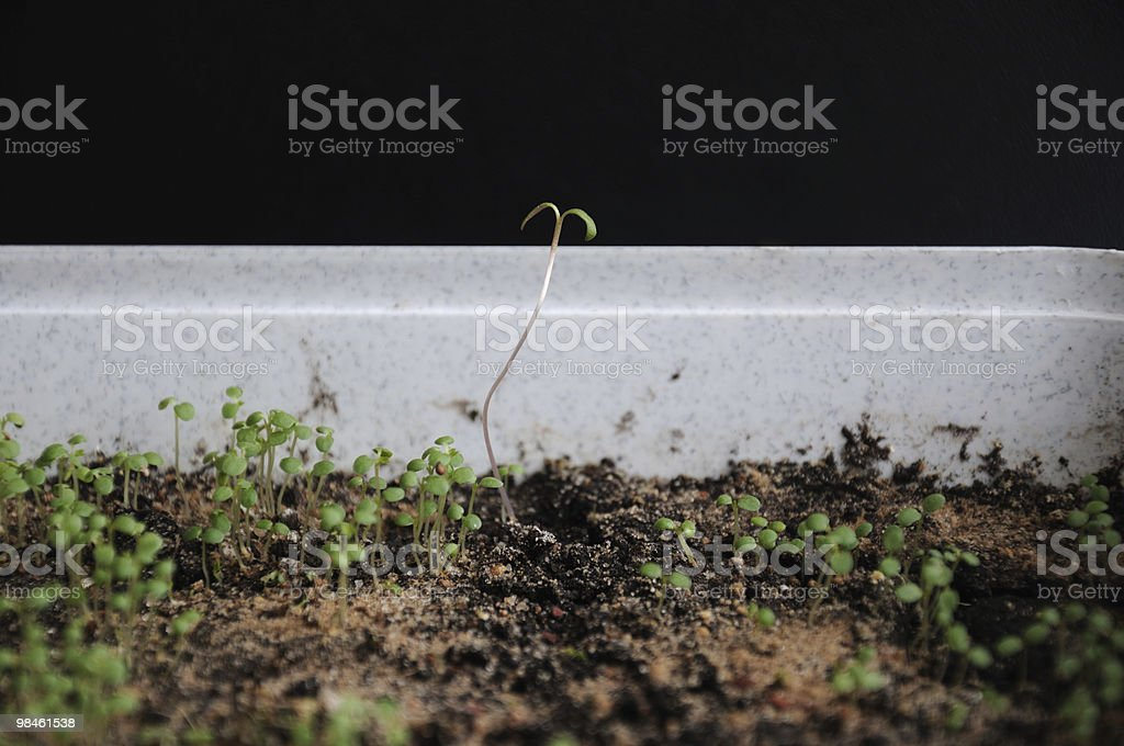 First delicate spring sprouts royalty-free stock photo