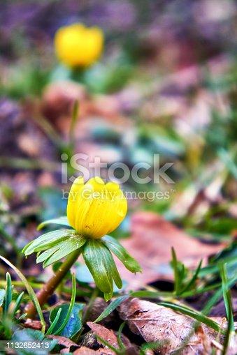 First flowering winterling in spring.