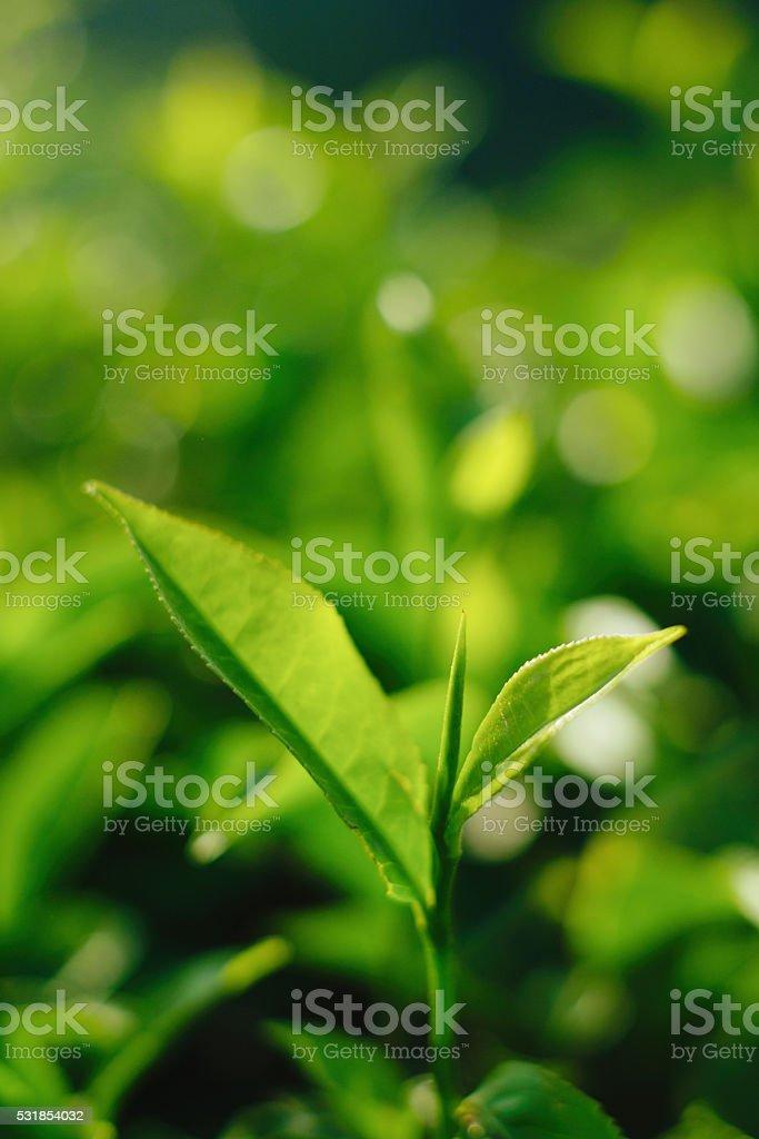 First flush tea leaves stock photo