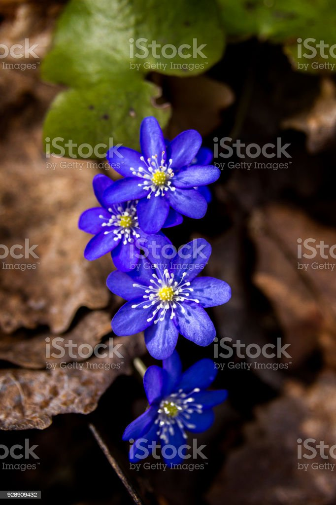 First fresh blue violets in the forest stock photo