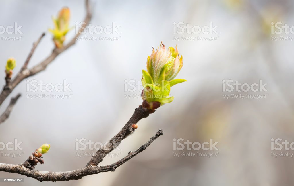 First green leaves, tree twig macro view, selective focus. Tender springtime nature in the garden. Beautiful bokeh background photo libre de droits