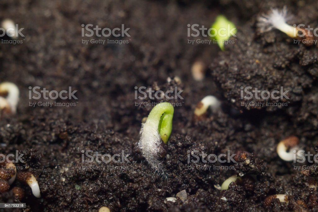 first green shoots in spring stock photo