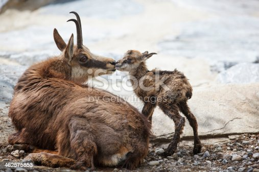 First kiss in life - chamois (Rupicapra Carpatica) with newborn - just 1 minute old