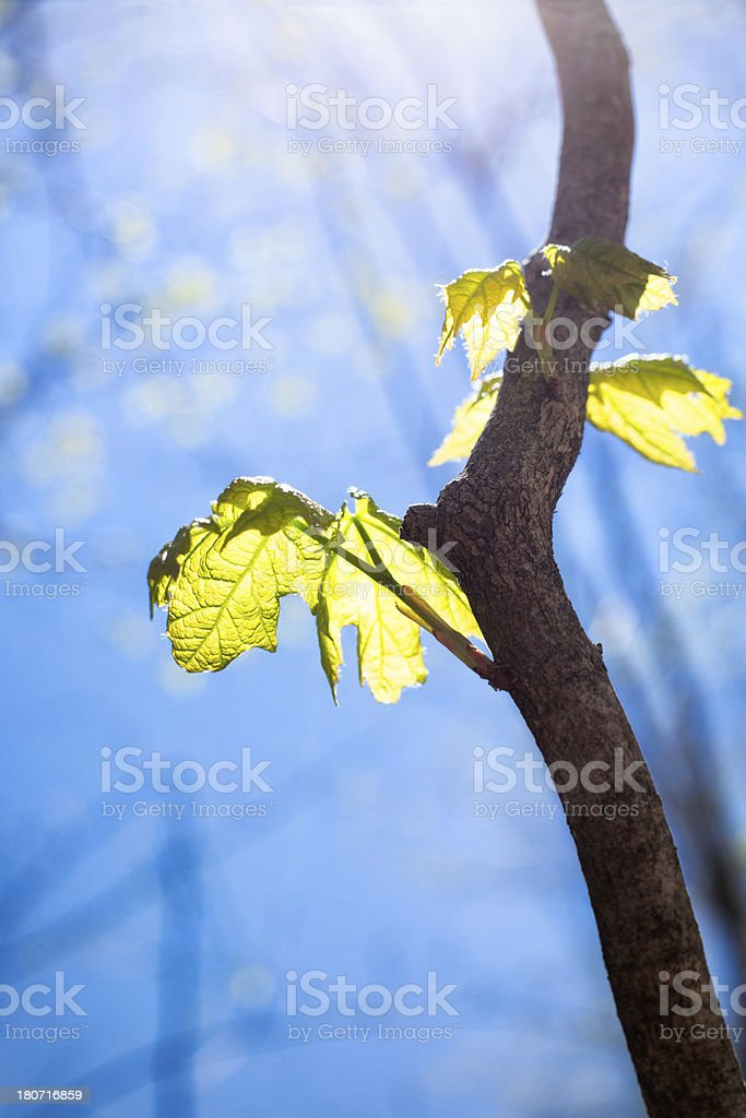 First Leaves of Spring royalty-free stock photo