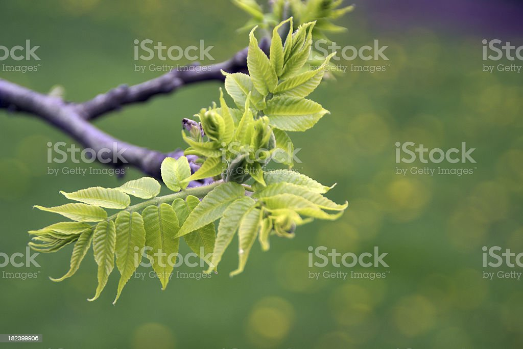 First Leaves Of The Black Walnut Tree Stock Photo - Download