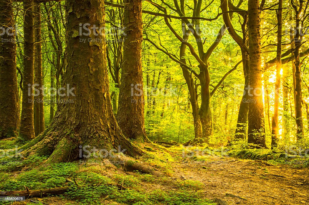 First Light Breaking Through Green Forest In The Morning. stock photo