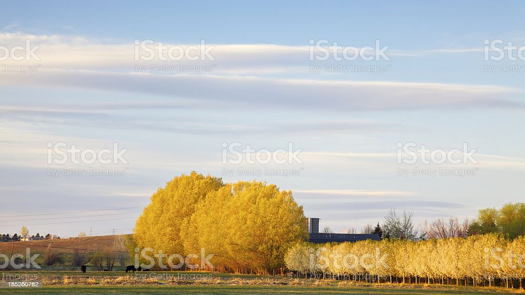 First Light on Trees in Springtime royalty-free stock photo
