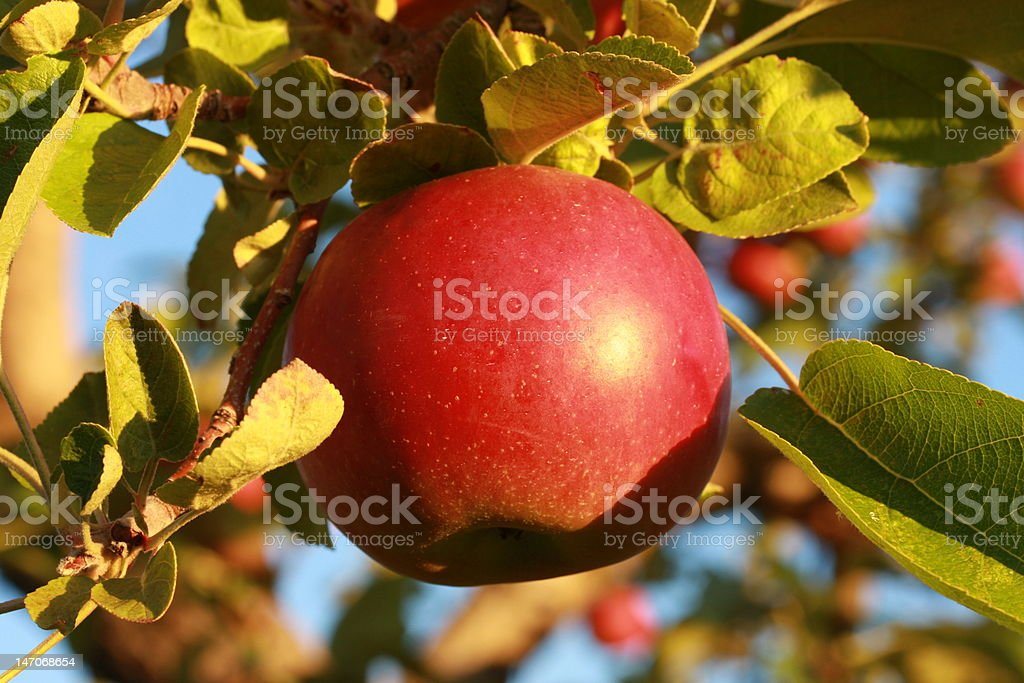 First Morning Rays of Sun on this Apple stock photo