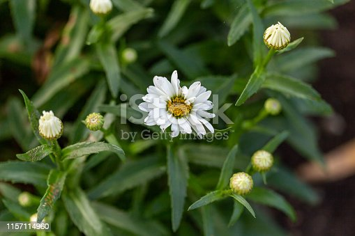 the first of the Shasta daisy blooms opens up