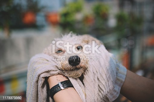 istock first person view FPV cleaning and wiping clean on a pet toy poodle dog dry after a bath outdoor with towel 1173373350