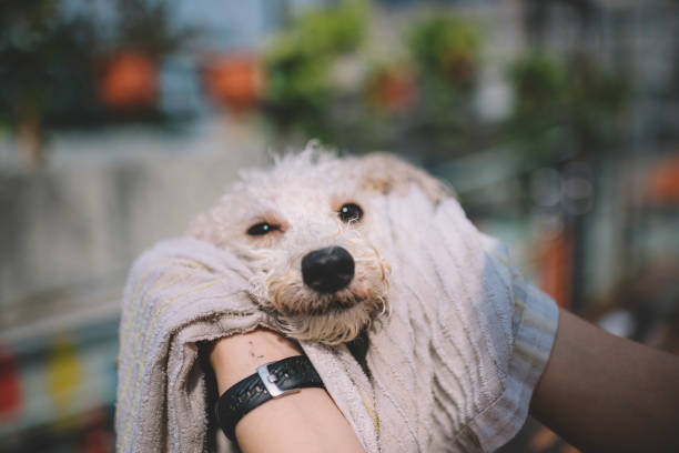 First person view fpv cleaning and wiping clean on a pet toy poodle picture id1173373350?b=1&k=6&m=1173373350&s=612x612&w=0&h=el55rz9o ymedwot1kmejfq6rnxq2oasnnbgqvniq9u=