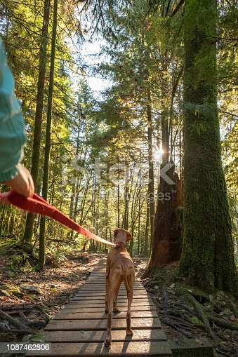 First person perspective of dog walker with Vizsla dog.  North Vancouver, British Columbia, Canada