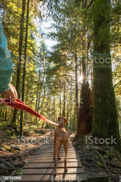 First person woman walking leashed vizsla dog in forest picture id1087462806?b=1&k=6&m=1087462806&s=612x612&h=dzoxrs8i5vnb7sgci 7l2xjtwbw k9r8m0otjo4dr a=