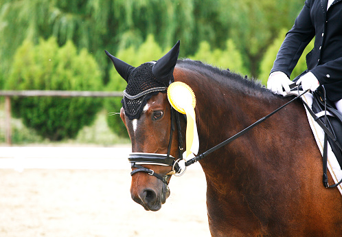 istock First prize rosette in a dressage horse's head 480287232