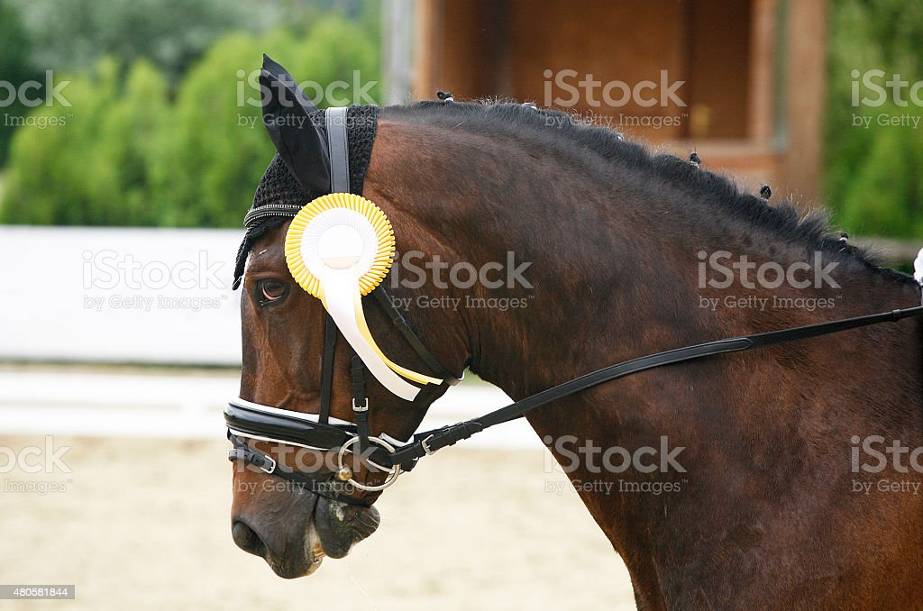 First Prize Rosette In A Dressage Horses Head Stock Photo Download Image Now Istock