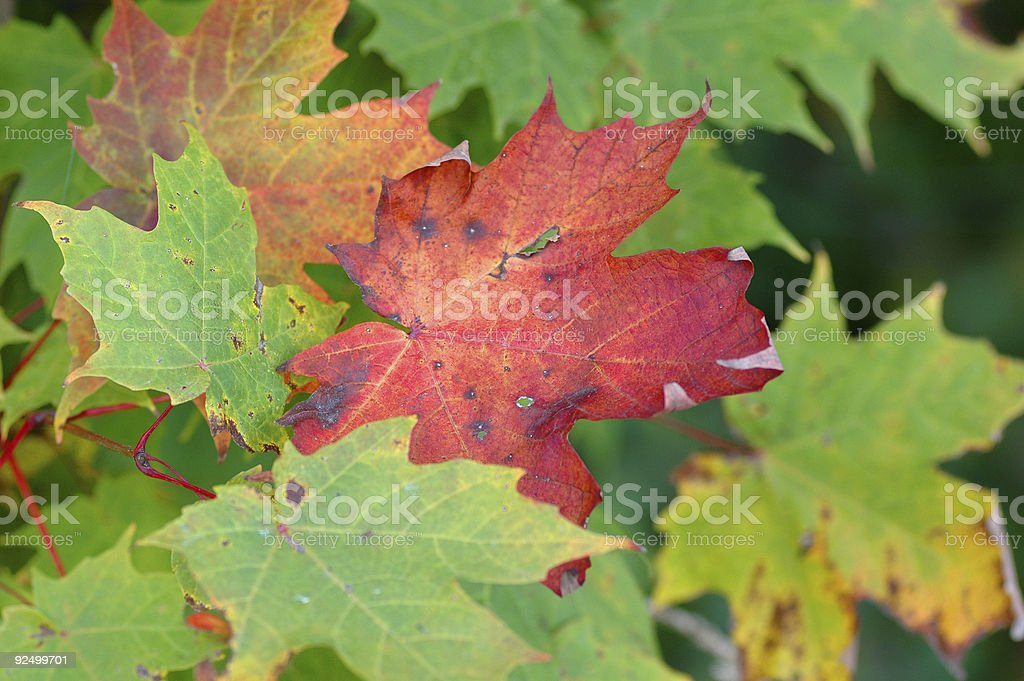 First red leaf of the Season royalty-free stock photo