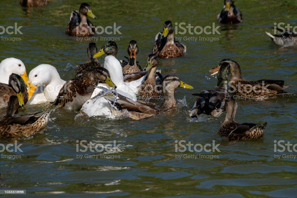 First season male mallard duckling duck leaping out of the water for duck pellets with white heavy Long Island American Pekin Ducks amongst the flock of wild birds stock photo