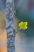 First small leaf who was born from a bud on fig tree at sunrise