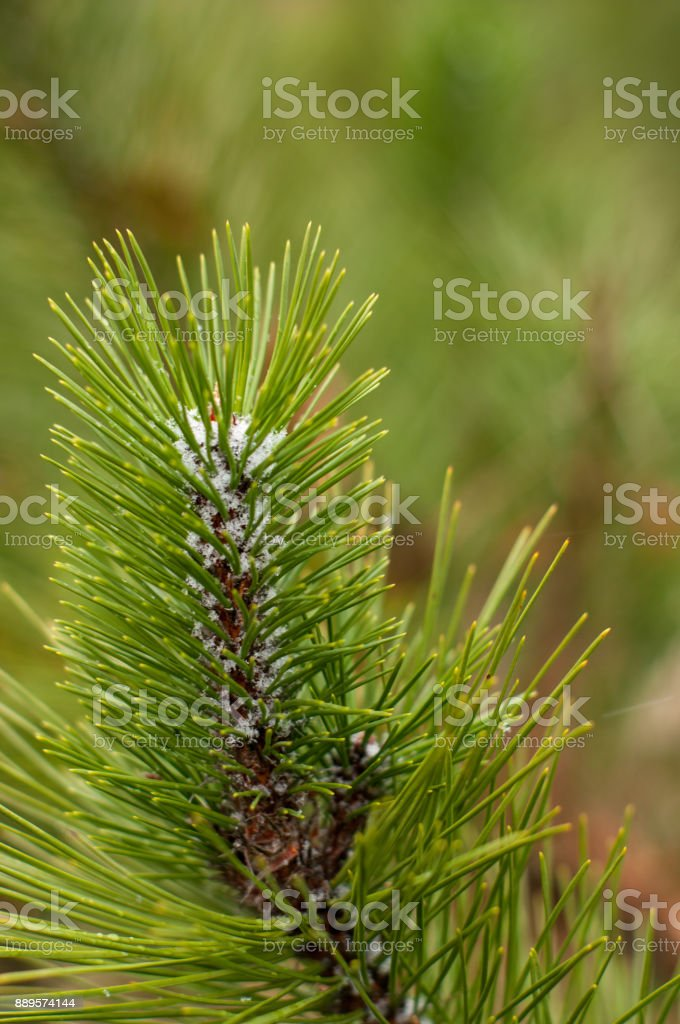 First snow on a fir tree branch stock photo