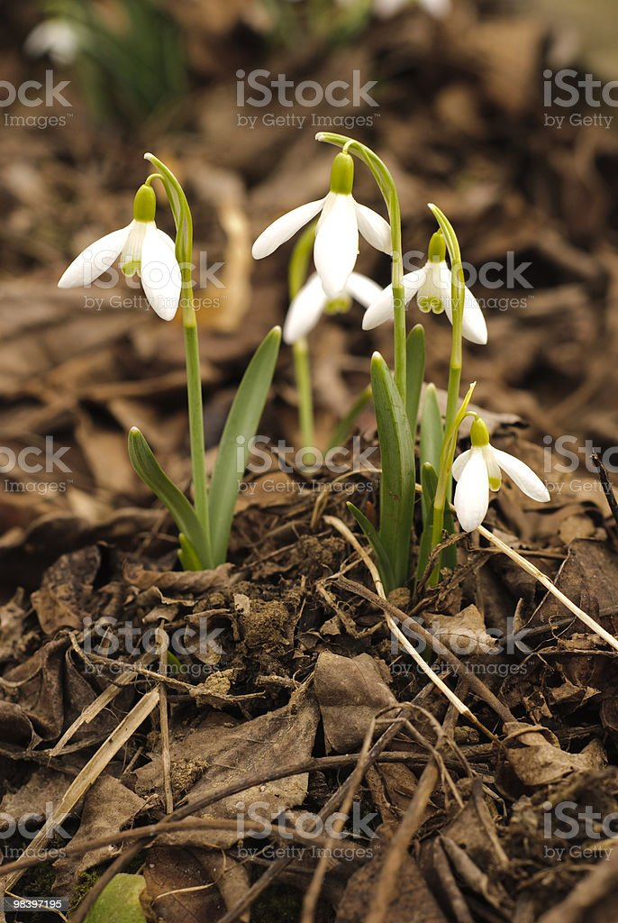 First snowdrop royalty-free stock photo