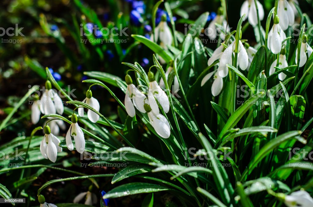 First snowdrops in a forest on spring stock photo