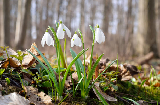 first snowdrops in the forest in spring - snowdrops stock photos and pictures