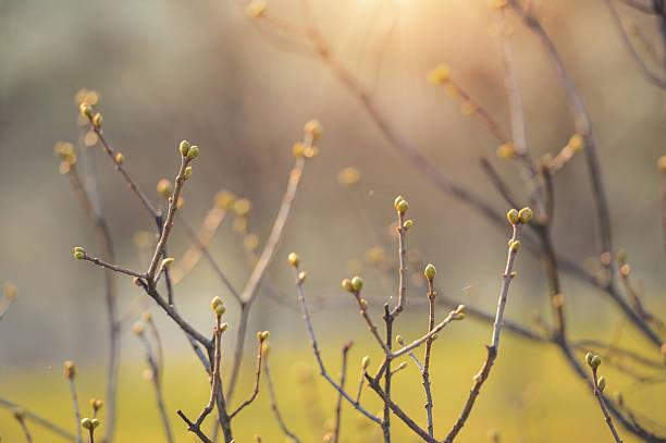 First spring bush bud stock photo