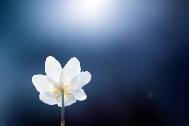 First spring flowers. Anemone sylvestris (snowdrop anemone) stock photo