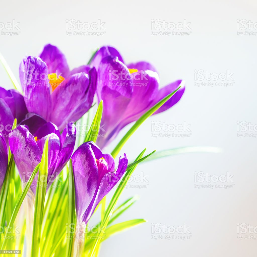 First Spring Flowers Bouquet Of Purple Irises Stock Photo More