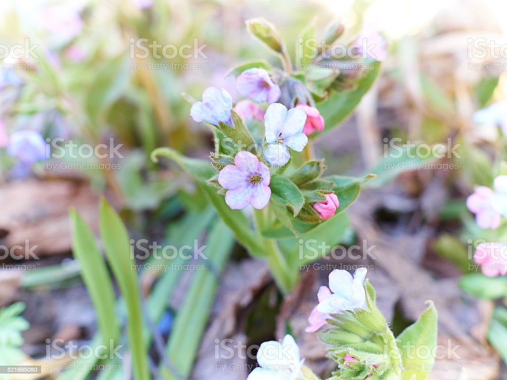 First Spring Flowers In Forest Stock Photo More Pictures Of Animal