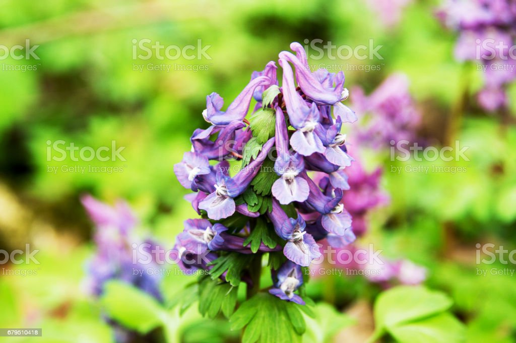 First spring flowers isolated background. royalty-free stock photo