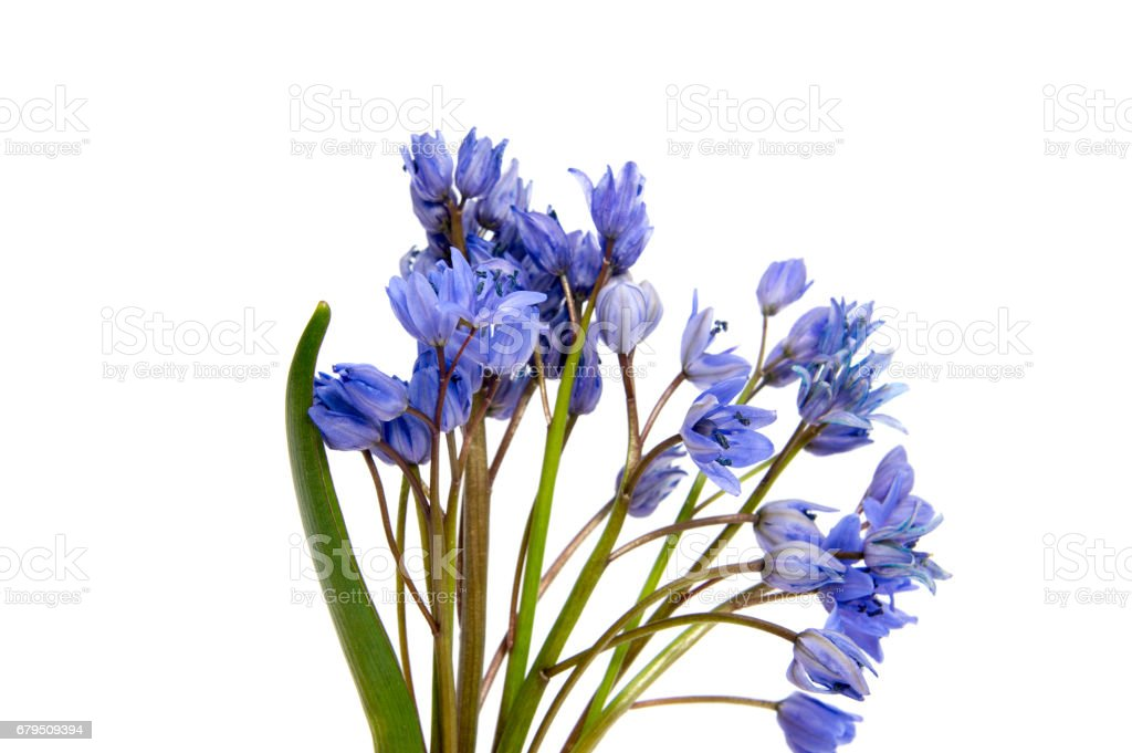 First spring flowers isolated on white background. royalty-free stock photo