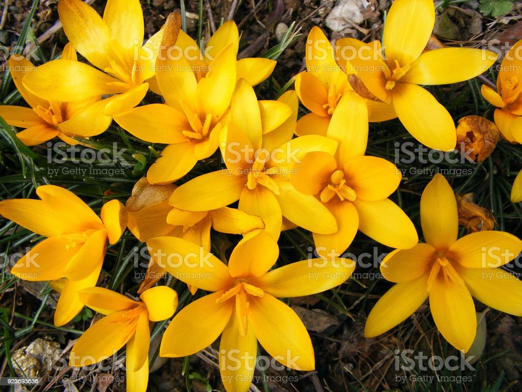 First Spring Flowers Stock Photo More Pictures Of Backgrounds Istock