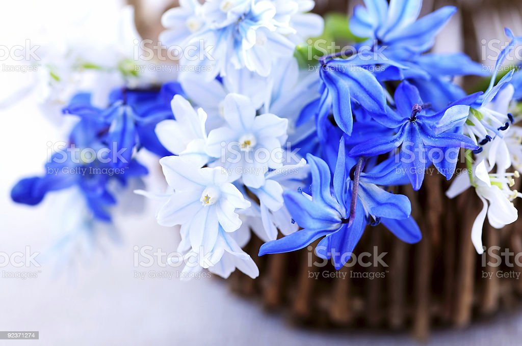 First spring flowers royalty-free stock photo