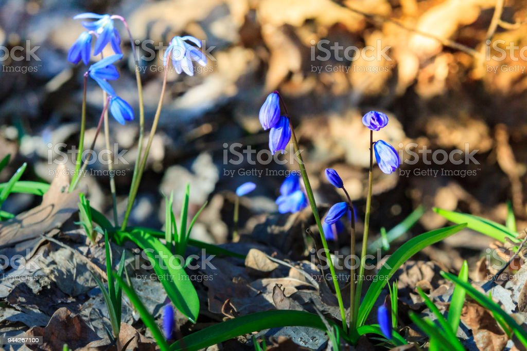 First spring flowers - Scilla Bifolia stock photo