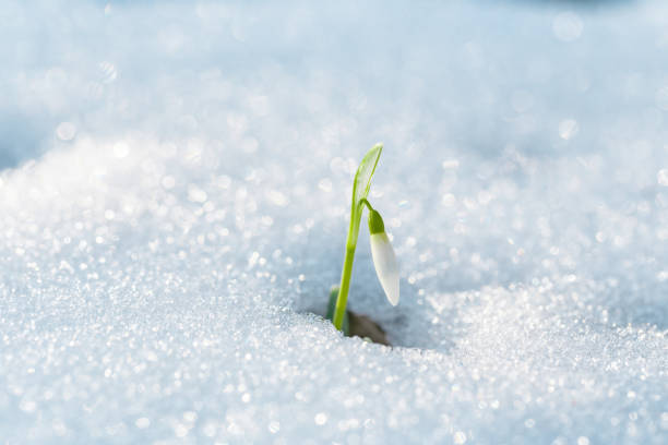 first spring flowers. small white snowdrop flower, rising up from under the snow on forest meadow. - snowdrop stock pictures, royalty-free photos & images